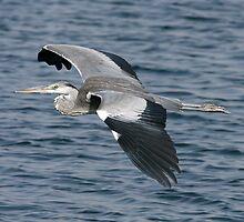 Grey Heron in Flight by David Clark