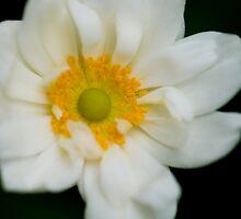 Japanese Anemone by taylorswift