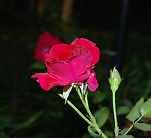 Red Rose by Rainy