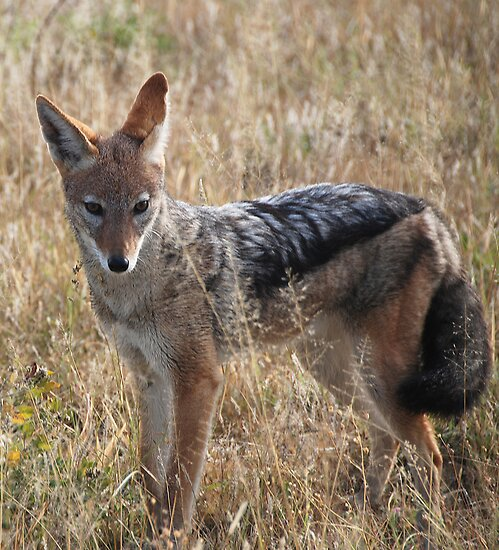 Black-Backed Jackal (Canis mesomelas), Central Kalahari Game Reserve ,Botswana by Adrian Paul
