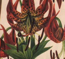 Turk's-cap Lily-Available As Art Prints-Mugs,Cases,Duvets,T Shirts,Stickers,etc Sticker