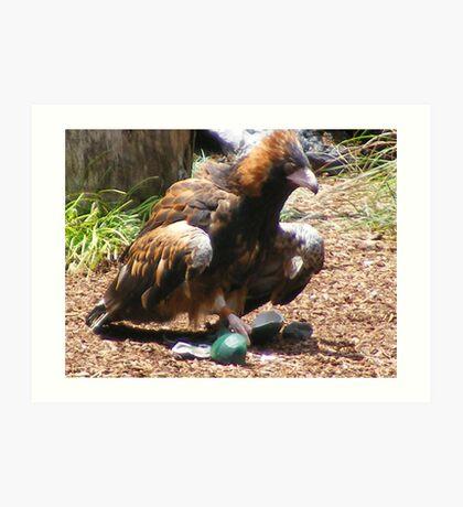 bird/owls - at Currumbin Sanctuary, Queensland (Aust) Art Print