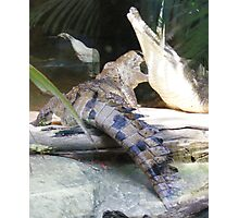 crocodiles...at Currumbin Sanctuary  (Queensland - Aust) Photographic Print