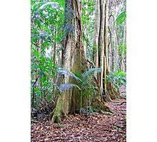 Strangler Fig, Bruxner Park Flora Reserve, Coffs Harbour, NSW, Australia Photographic Print