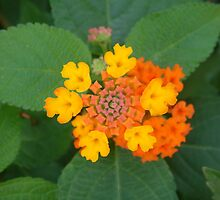 Macro orange verbena by Fay  Hughes