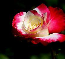 Flat Rose by Annie Austin