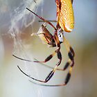 Golden Silk Spider by Freese