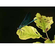 Damsel Fly Photographic Print