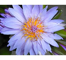 Big, blue, golden-centred lotus Photographic Print