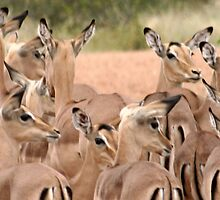 Impala - Kruger National Park by Louw Agenbag