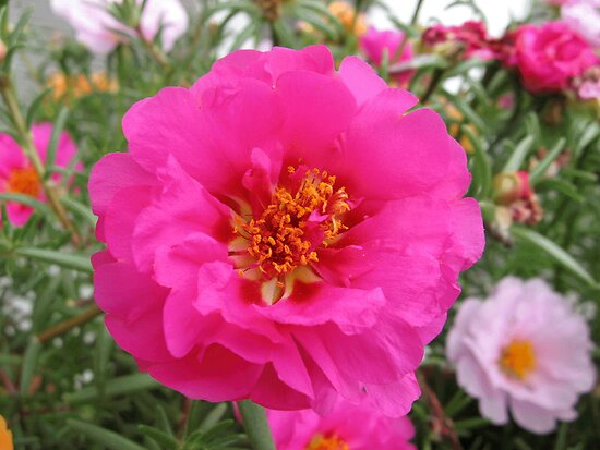 Moss Rose Pink by Stormoak Lonewind