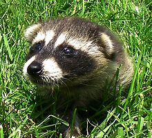 Babby Raccoon by Wild For Ever
