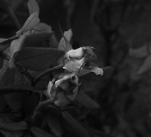 Roses in the Dark by Stefan Casaletto
