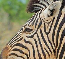 Zebra - African Wildlife - Tranquility Pose by LivingWild