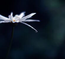 Petal  by brightfizz