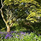 Bluebells and Acer Tree by Victoria Ashman