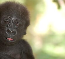 Baby Gorilla 1 by pulsdesign