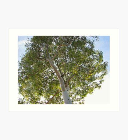 Eucalyptus Tree Art Print