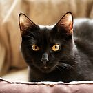 Black cat cosy in bed by ljm000