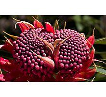 Waratah (Telopea speciosissima) Photographic Print