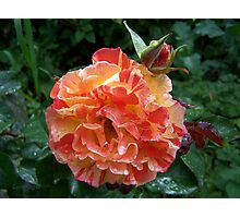Rose .. after the rain 12 Photographic Print