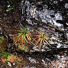 Baby Pandani, Cradle Mountain by bevanimage