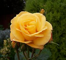 raindrops on yellow rose by LoneAngel