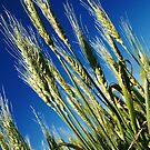 Wheat  by Kelvin  Wong