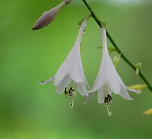 Hosta Bells by Lisa Jones Caldwell