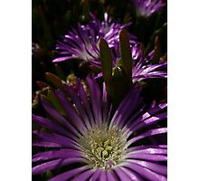 Pigface 3  Photographic Print