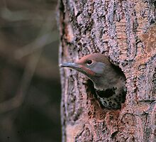 FLICKER IN TREE CAVITY by Chuck Wickham