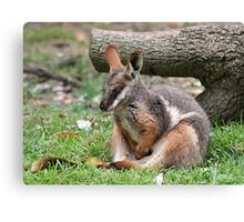 Yellow Footed Rock Wallaby Canvas Print