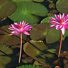 Water lillies - pink by BonnieH