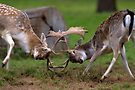Sparring Fallow Bucks by Neil Bygrave (NATURELENS)