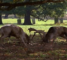 Rutting Fallow Stags by Neil Bygrave (NATURELENS)