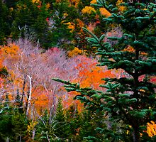 """Stopping by Woods ..."" Autumnal Color and Mountain Spruce, White Mountains, NH  by Richard VanWart"