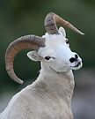 Young Ram by William C. Gladish