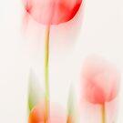 Tulip Softness by DIANE  FIFIELD