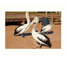 Australian Pelicans, Monkey Mia, Western Australia Art Print