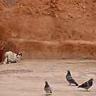 Maroc - Chat et pigeons by Jean-Luc Rollier