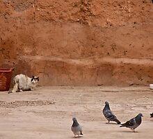 Maroc - Chat et pigeons by Jean-Luc Rollier
