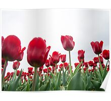 Red tulips 5 Poster