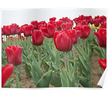 Red tulips 6 Poster