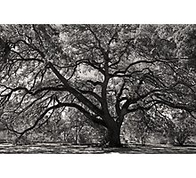 St. Mary's Oak Photographic Print