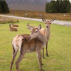 Kingshouse Deer by Christopher Cullen