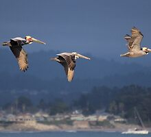 Pelican Fly-By by Bob Wall