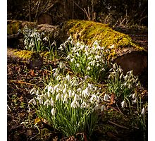 Snowdrop Woods Welford Photographic Print