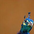 portrait of a peacock by Jen Wahl