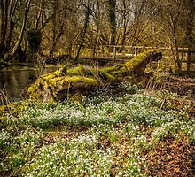 Snowdrop Woods Welford by mlphoto