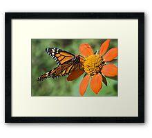 Food for Monarchs Framed Print